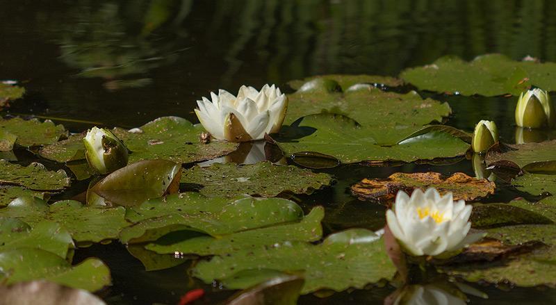 Seerosen im Teich neben der Praxis für Familien-Mediation und EFT-Paartherapie
